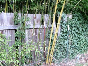 The neighbor's bamboo is trying to eat our yard